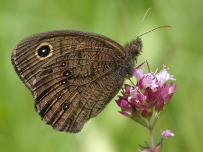 Photo for the news post: Did You Hear? Some Butterflies May Use Hearing Aids!
